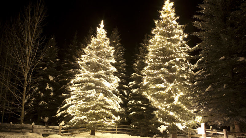 holiday lights in spruce trees along driveway